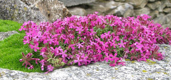 Rastlina - Skalka