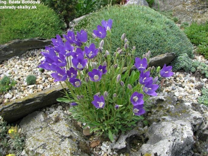 Campanula bellidifolia