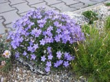 Campanula waldsteiniana