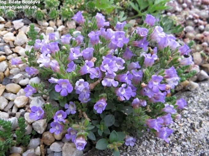 Chaenorhinum organifolium 'Blue Dream'