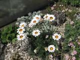 Chrysanthemum maresii
