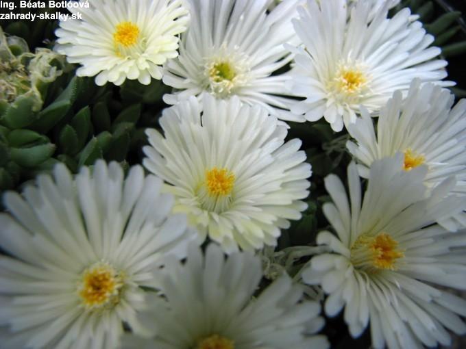 Delosperma basuticum 'White Nugget'