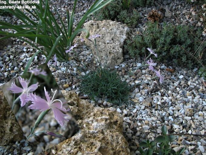 Dianthus calizonus hyb.