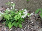 Epimedium youngianum 'niveum'