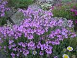 Erinus alpinus hyb.