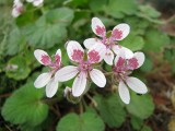 Erodium triflorum
