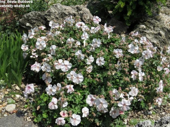 Geranium dalmaticum 'alba'