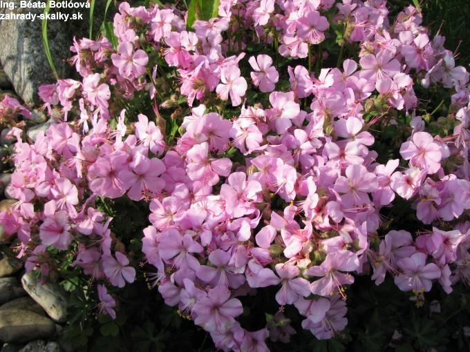 Geranium dalmaticum rosea