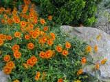 Helianthemum 'Orange Suprise'