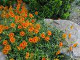 Helianthemum 'Orange Suprise'