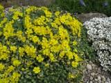 Helianthemum canum ssp.balcanum