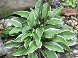 Hosta 'Little Wonder'