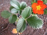 Potentilla hyb., orange