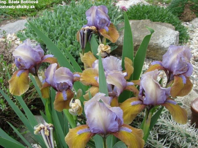 Iris sp. 2