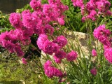 Lychnis viscaria 'Flore Pleno'