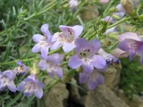 Penstemon linarioides v. coloradensis