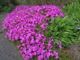 Phlox subulata ' McDaniel's Cushion'
