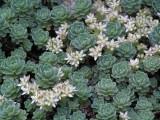 Rosularia pachyclados