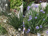 Sisyrinchium sp.