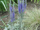 Veronica spicata subsp.incana