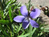 Viola pedatifida