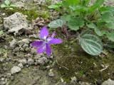 Viola variegata