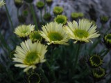 Erigeron 'Canary Bird'