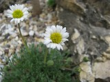Erigeron compositus Red Desert
