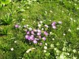 Anemone blanda v trávniku