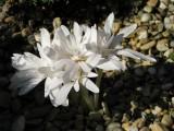 Colchicum 'Alboplenum' - jesenný
