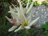 Colchicum 'Harlequine' - jesenný