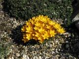 Crocus Oliveri subsp.Balansae Zwanenburg