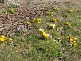 Crocusy v trávniku