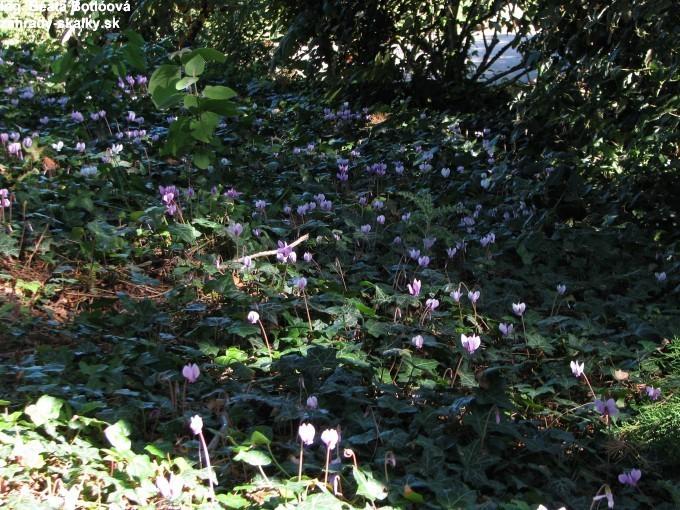 Cyclamen hederifolium - jesenný