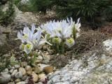 Iris historioides 'Katharine Hodgkin'