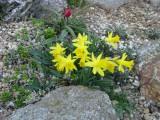 Narcis nanus 'Midget'