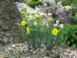 Narcis rupicola