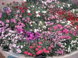 Ukážka farebnej variability rodu Dianthus na výstave Chelsea Londyn