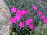 Dianthus 'Babí Lom'