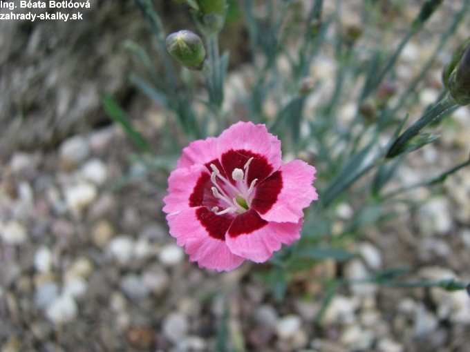 Dianthus ' Evening Star'