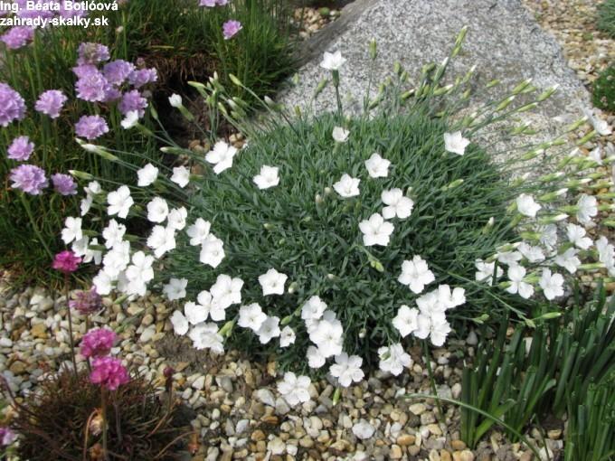Dianthus 'La Bourboule' alba