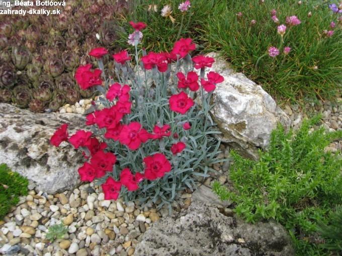 Dianthus 'Rubín'