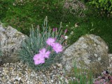 Dianthus 'Tereza'