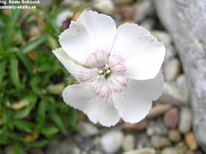 Dianthus alpinus 'Drake's Form'