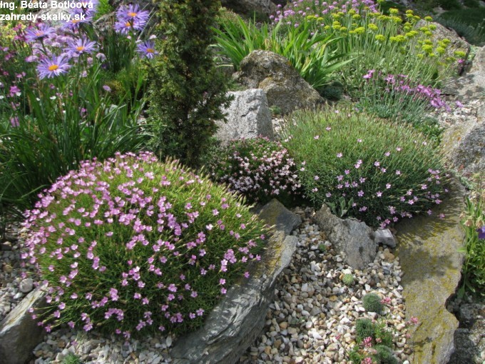 Dianthus arpadianus