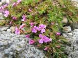 Dianthus myrtinervius