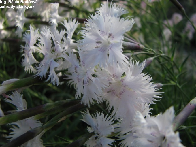 Dianthus praecox 'alba'