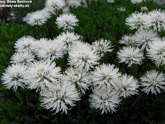 Globularia cordifolia 'alba'