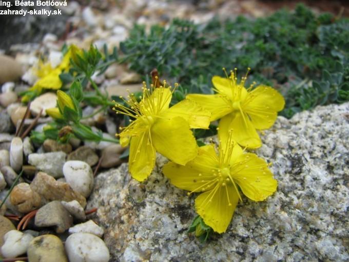 Hypericum kazdaghensis