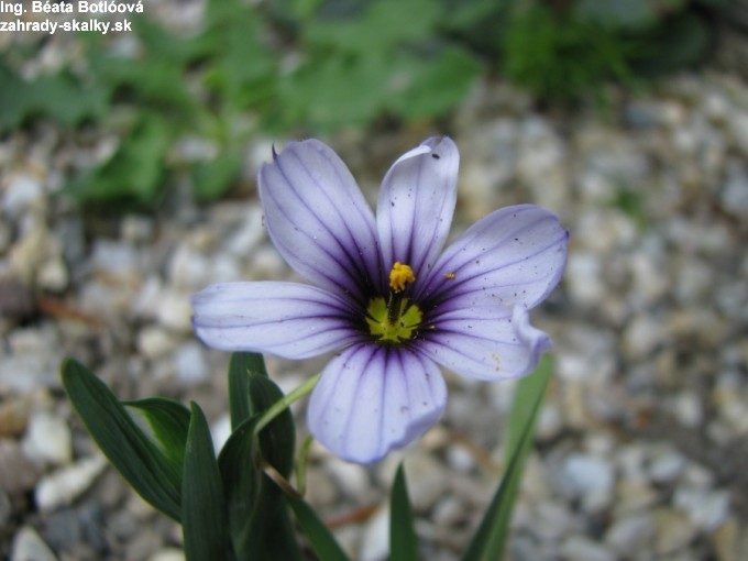 Sisyrinchium 'Dragon's Eye'